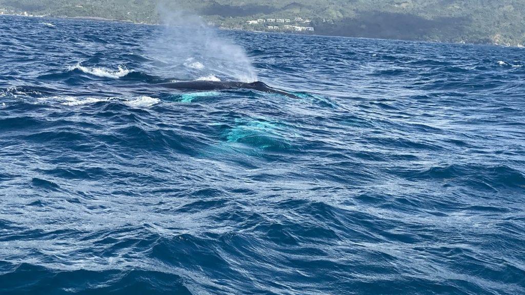 горбатый кит в заливе самана доминикана