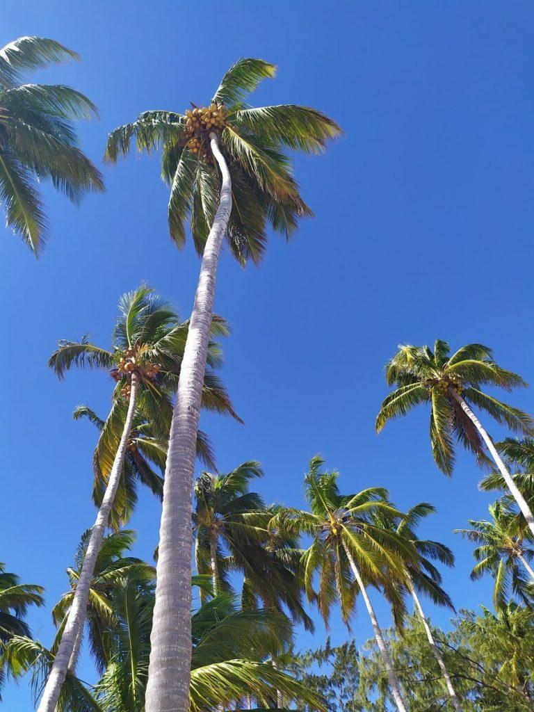 Пальмы с кокосами в Доминикане
